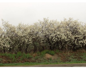 American Plum...©photo ArborTanics Inc.