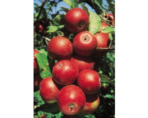 Apple, Winesap
