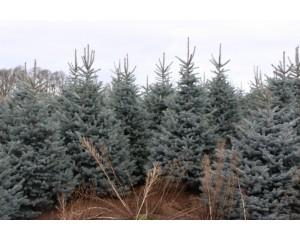 Baby Blue Eyes Spruce...2011 Crop avail late April 2011.jpg