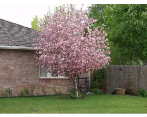 BRANDYWINE CRABAPPLE-Louisville, Coroado ©photo ArborTanics Inc.
