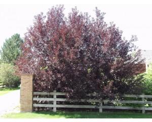 CANADA RED CHERRY -Clump Form ©photo ArborTanics Inc.