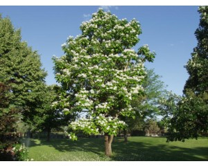 NORTHERN CATALPA ©photo ArborTanics Inc.