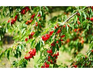 Cherry Carmine Jewel Bush Thetreefarm Com