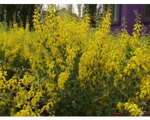 Yellow Spike Broom...©photo ArborTanics Inc.