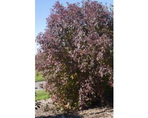 Huron Gray Dogwood Fal Colorl