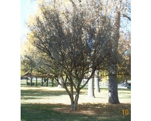 Cornelian Cherry Dogwood...©photo ArborTanics Inc.