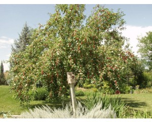 DOGO FRUITING CRABAPPLE ©photo ArborTanics Inc.