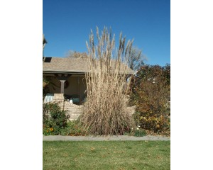 Hardy Pampas Grass...©photo ArborTanics Inc.