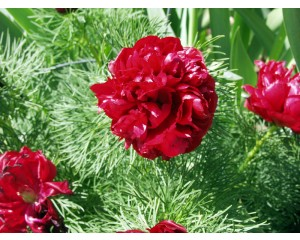 Japanese Fernleaf Peony...©photo ArborTanics Inc.