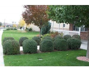 Lodense Privet-border hedge...©photo ArborTanics Inc.