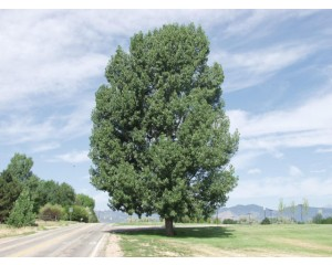 NOREASTER COTTONWOOD -Longmont, Colorado ©photo ArborTanics Inc.