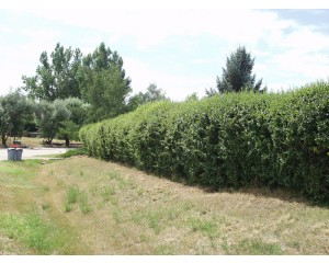 Peking Cotoneaster- Hedge...©photo ArborTanics Inc.