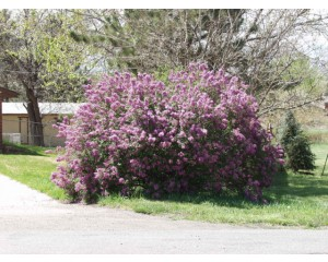 Persian Purple Lilac...©photo ArborTanics Inc.