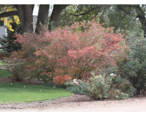 Princess Diana Serviceberry-clump form...©photo ArborTanics Inc.
