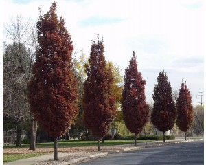 CRIMSON SPIRE® OAK  (high branched for streetscape)  ©photo David Spahn