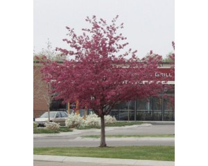 RADIANT PINK CRABAPPLE ©photo ArborTanics Inc.