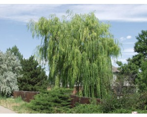 NIOBE WEEPING WILLOW ©photo ArborTanics Inc.