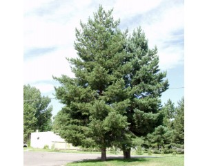 Scotch Pine...©photo ArborTanics Inc.