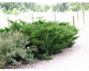 Sea Green Juniper...©photo ArborTanics Inc.