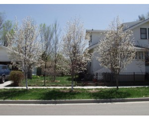 ROBIN HILL SERVICEBERRY ©photo by ArborTanics inc.