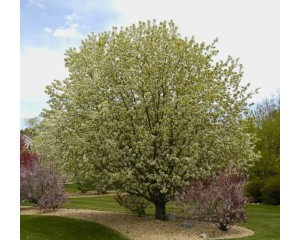 SPRING SNOW CRABAPPLE ©photo ArborTanics Inc.