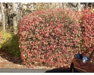 Tures Burning Bush...©photo ArborTanics Inc.