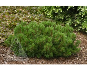 Valley Cushion Mugho PIne