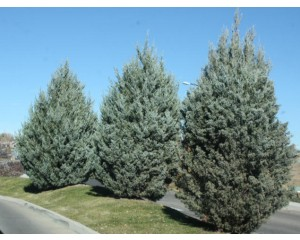WIchita Blue Juniper...©photo ArborTanics Inc.