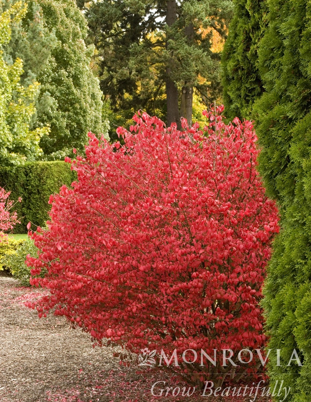 Burning Bush Cole S Compact Thetreefarm Com