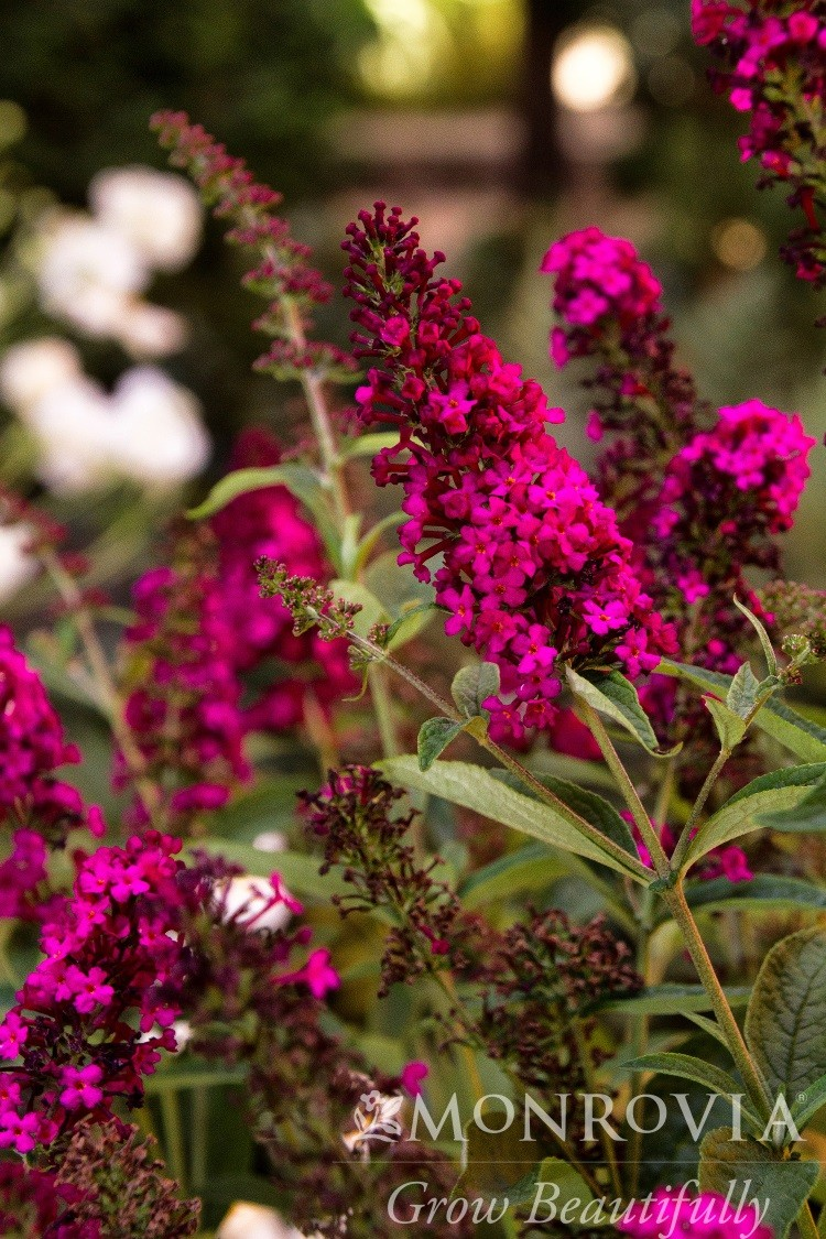 Butterfly Bush Royal Red Thetreefarm Com