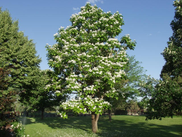 Image result for northern catalpa