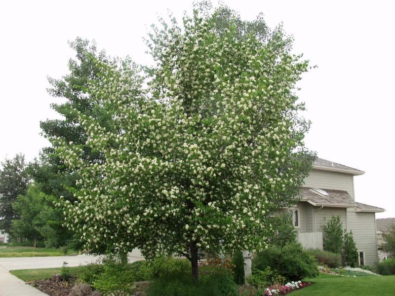 washington hawthorn tree pictures. Hawthorne, Washington