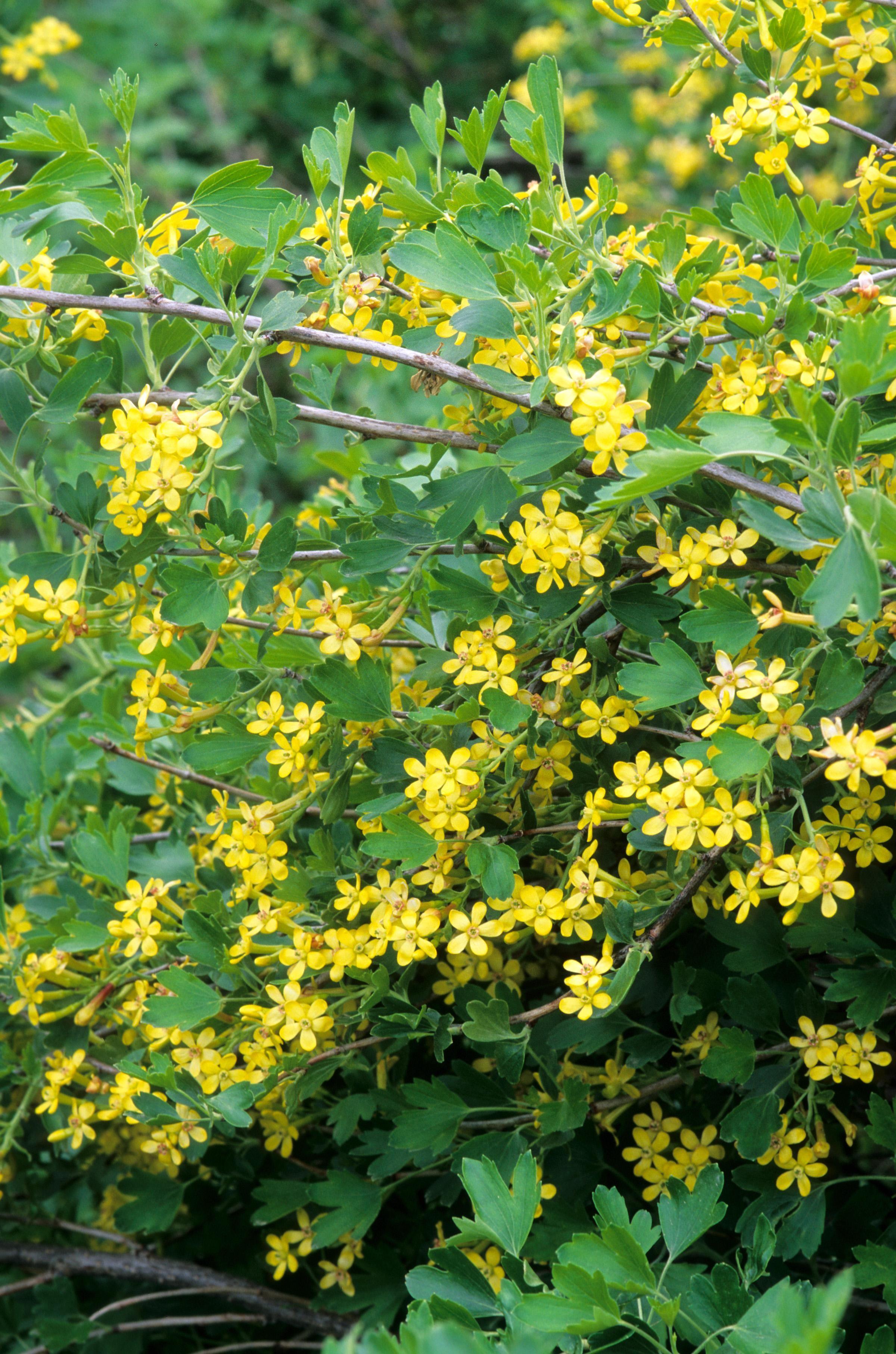Currant Yellow Flowering Thetreefarm
