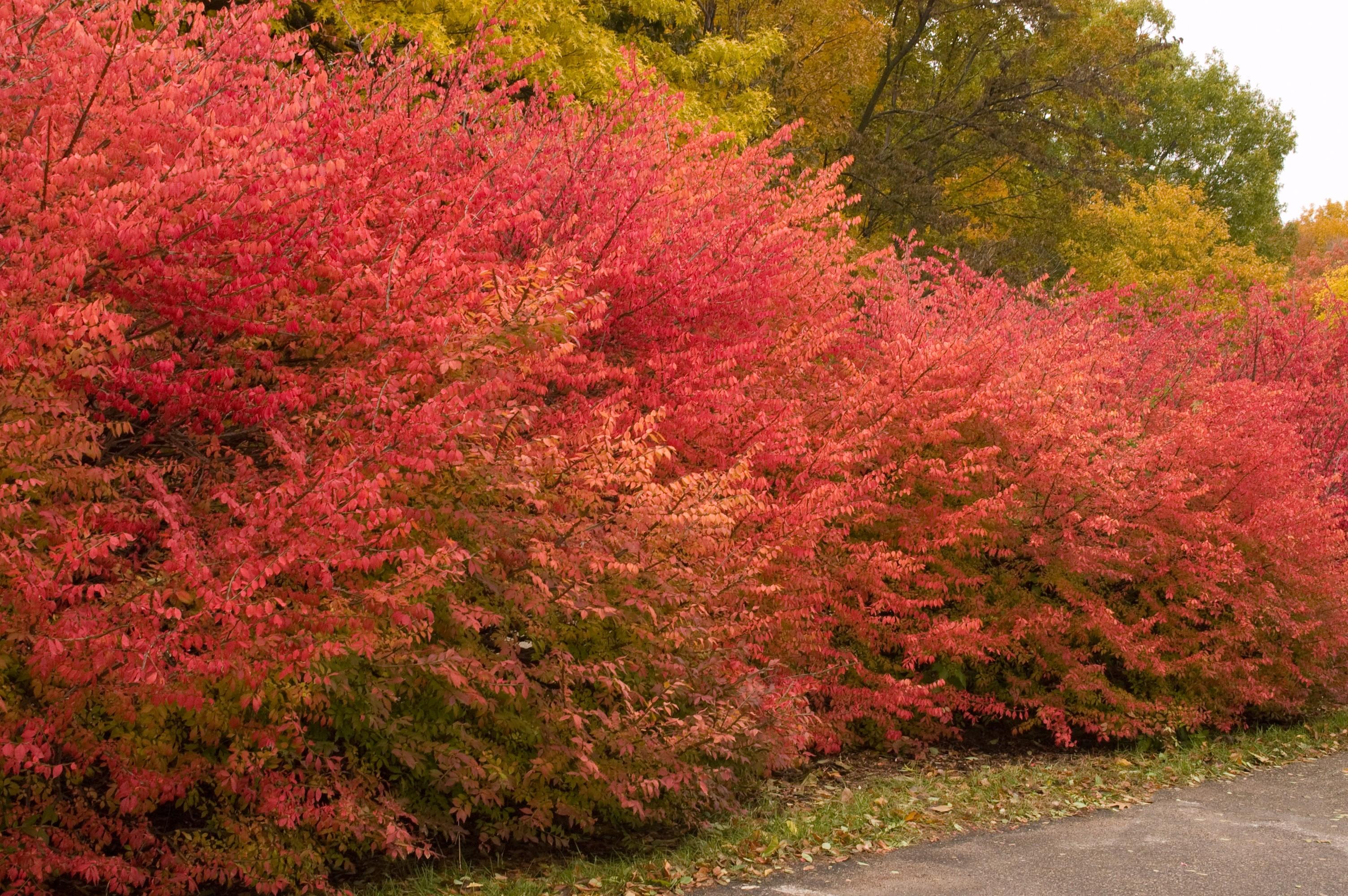 Burning Bush Winged Euonymus Thetreefarm Com