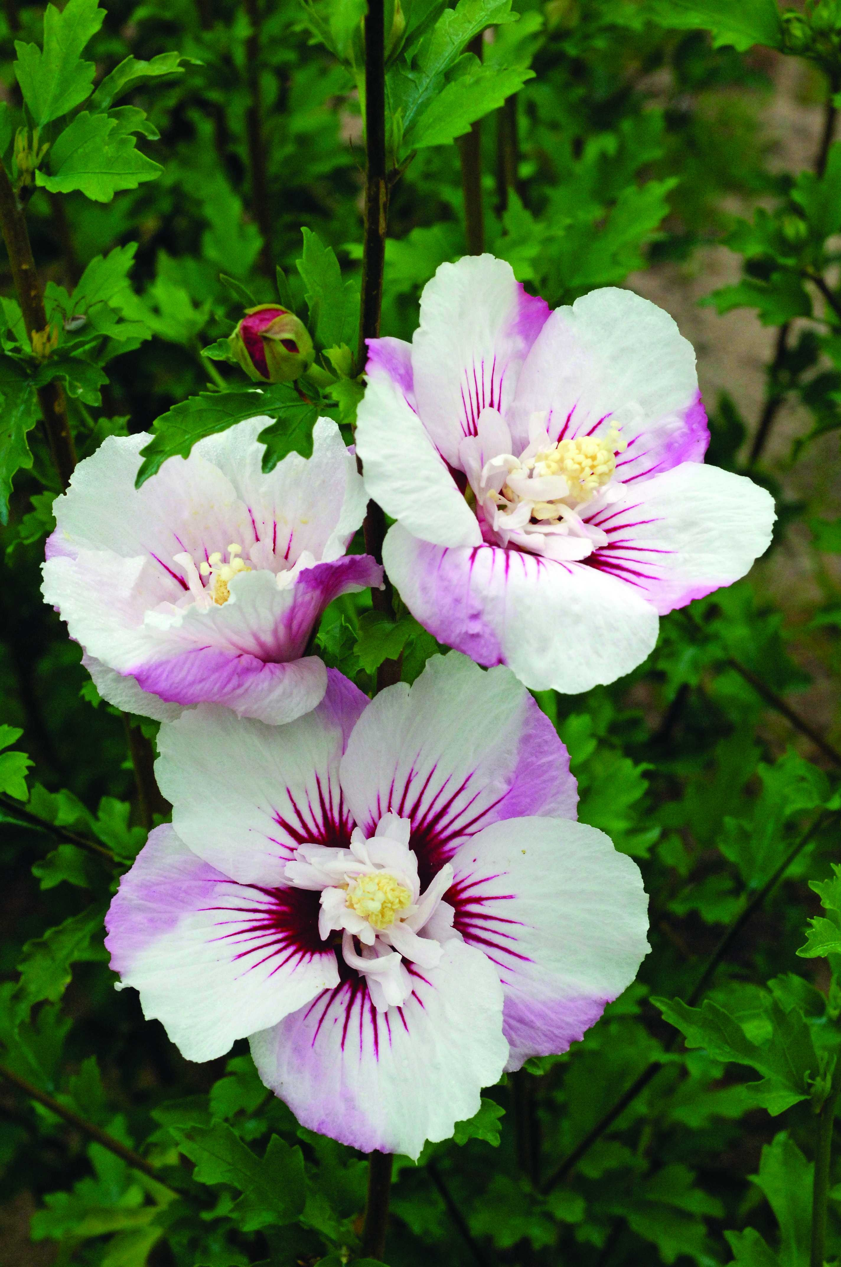 Rose Of Sharon Fiji Althea Thetreefarm Com
