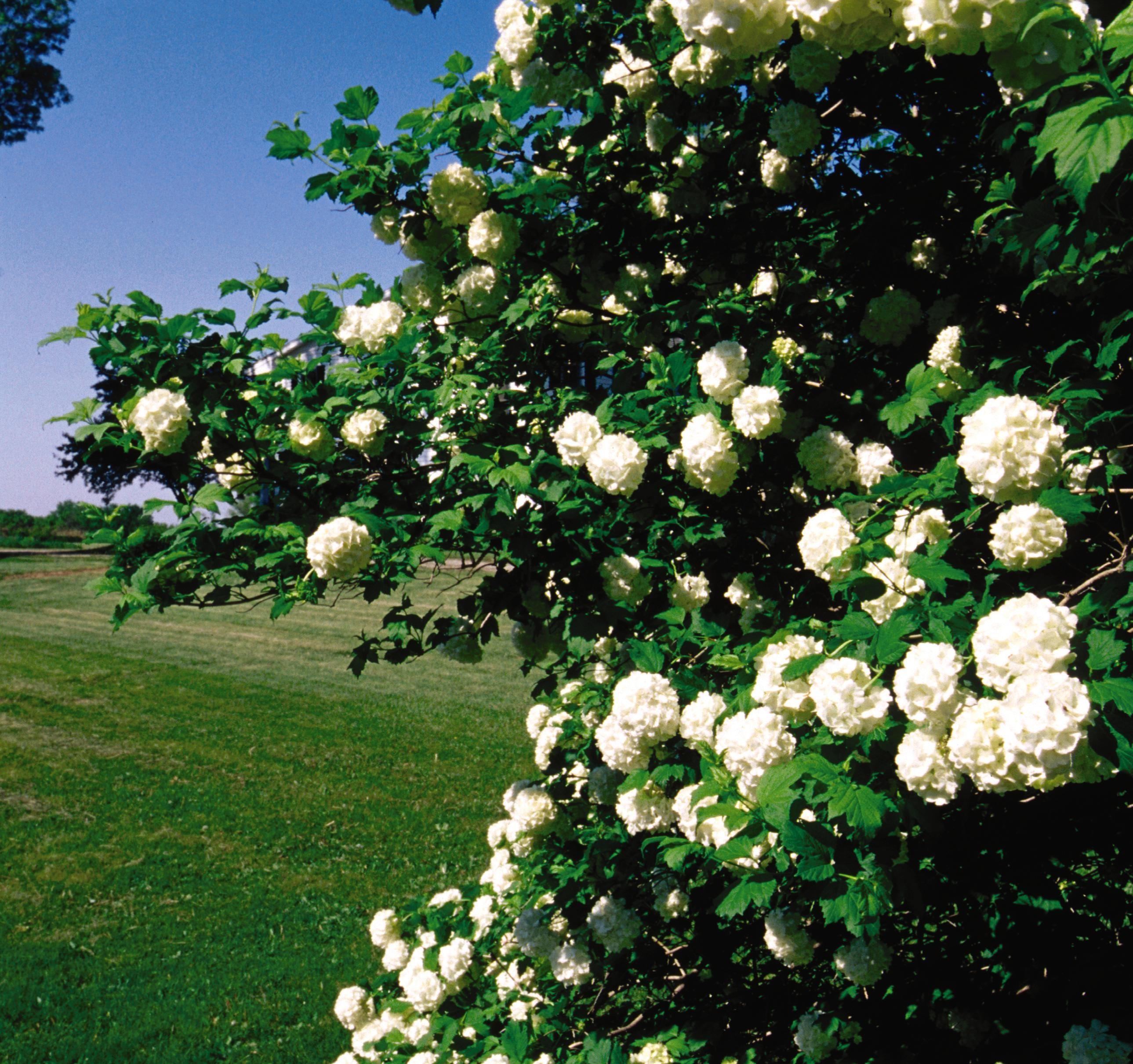 Viburnum Snowball Bush Thetreefarm Com