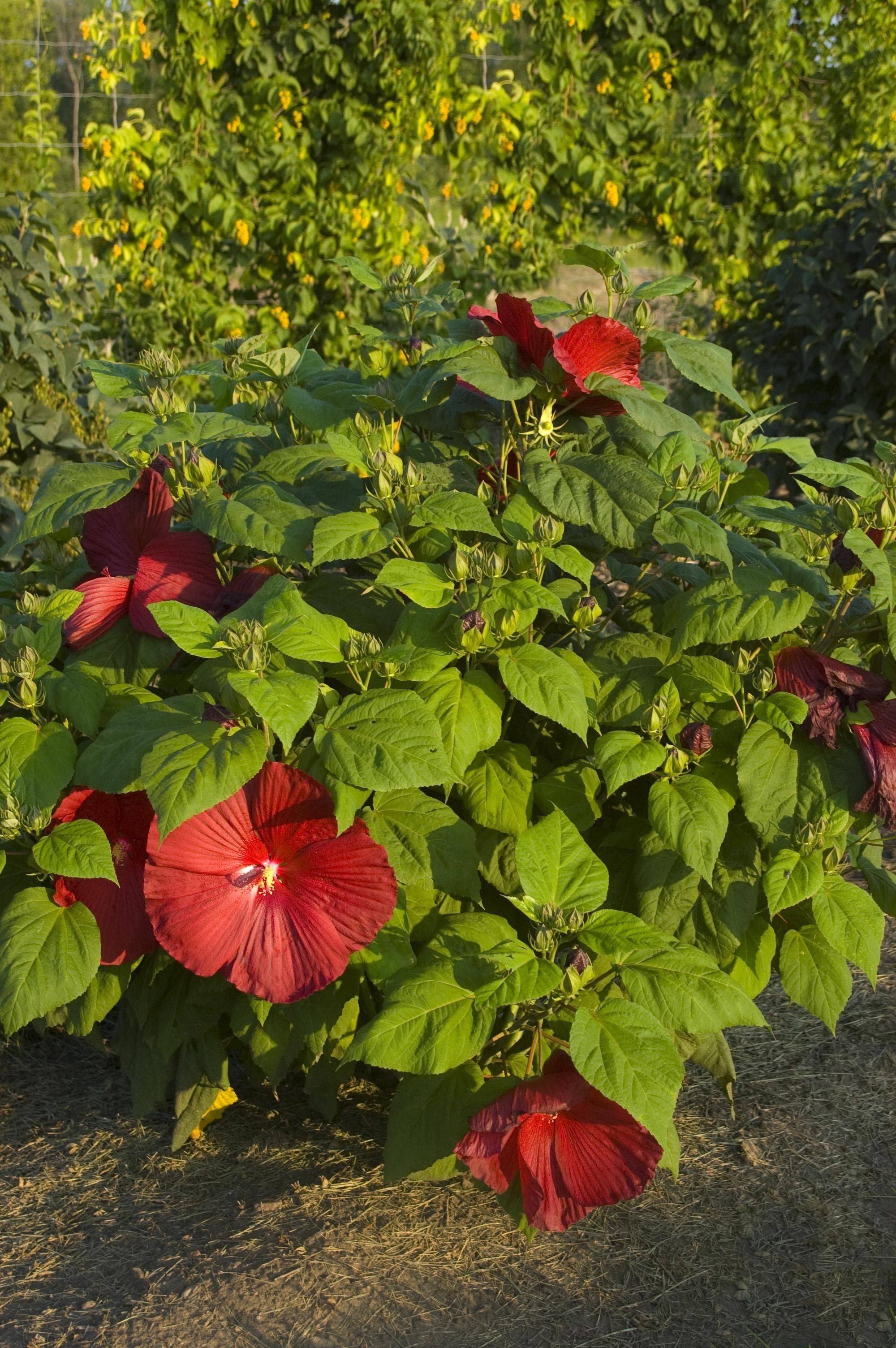 Hibiscus Cristirose Mallow Thetreefarmcom