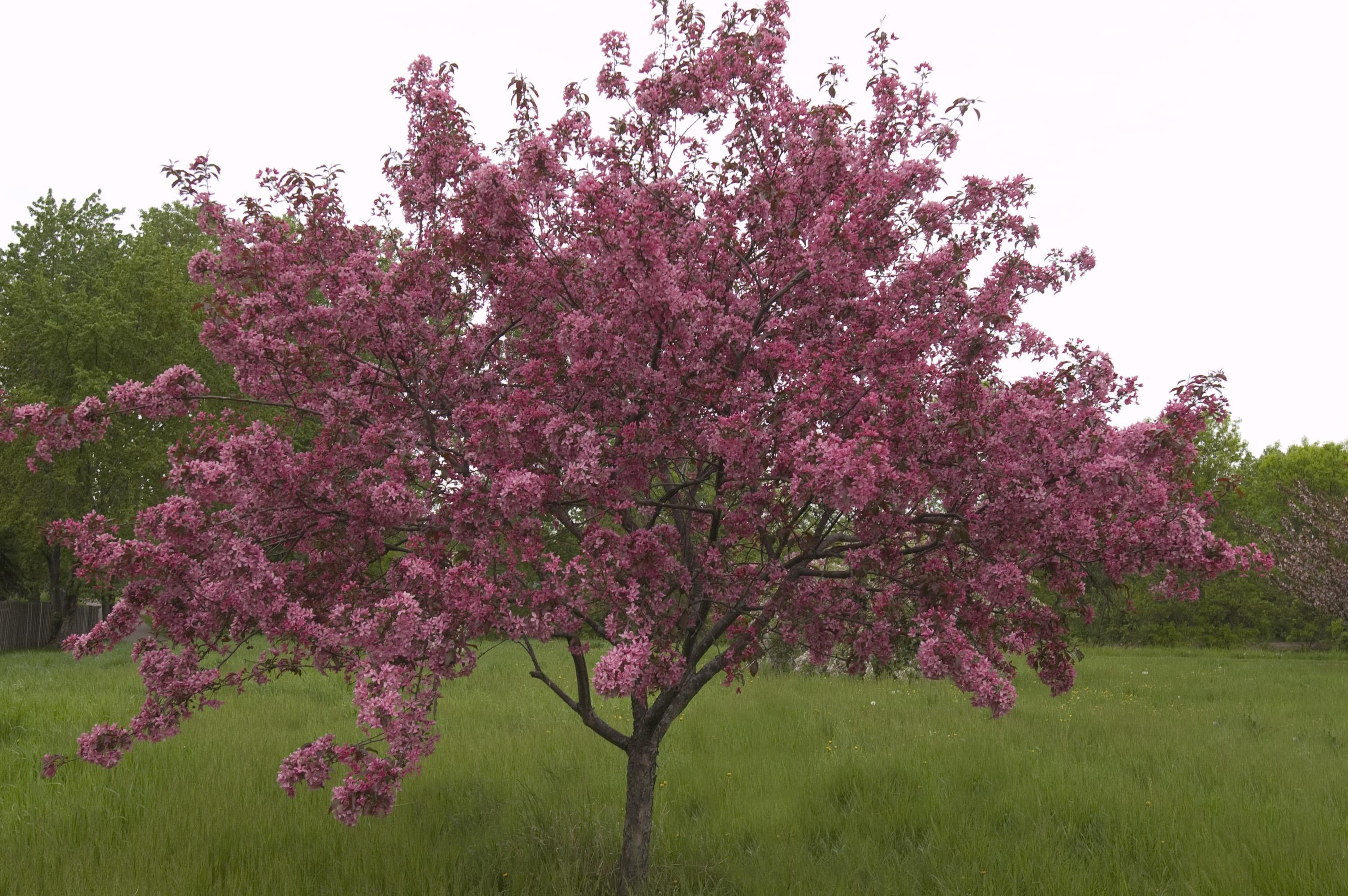 Adams Crabapple Thetreefarm