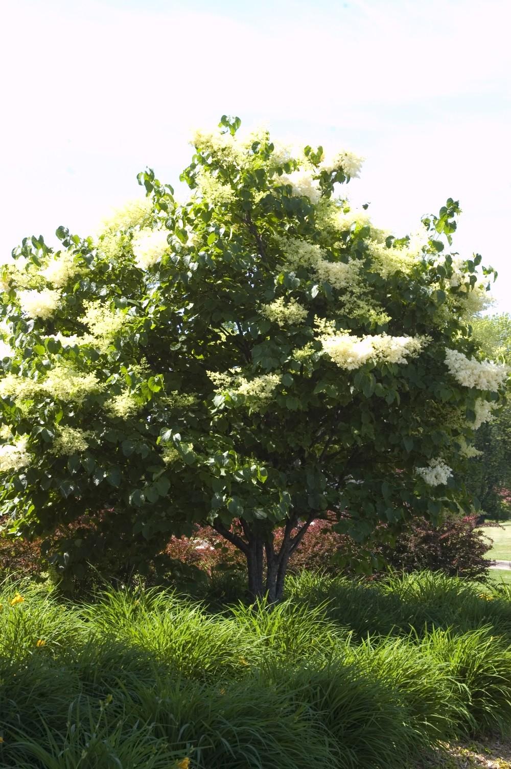Lilac, Japanese Tree - TheTreeFarm.com