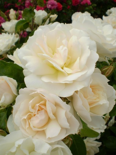 Simple Rose Garden: Rose, Easy Elegance® Champagne Wishes
