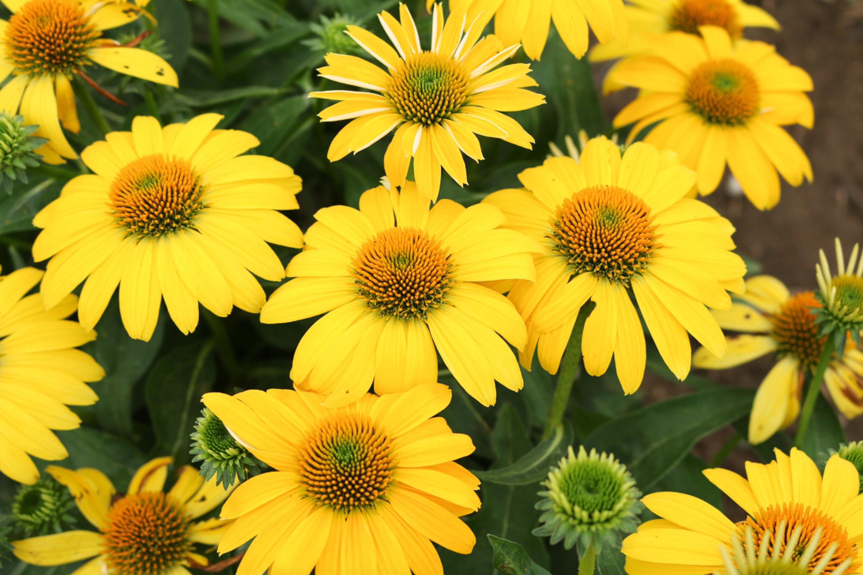 Coneflower Sombrero Lemon Yellow Echinacea Thetreefarm