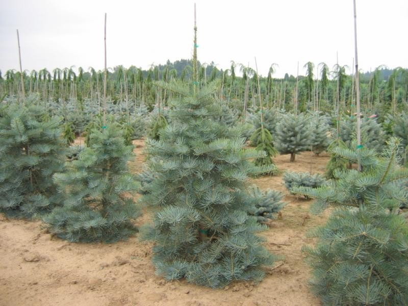 Fir Concolor Select Blue Thetreefarmcom