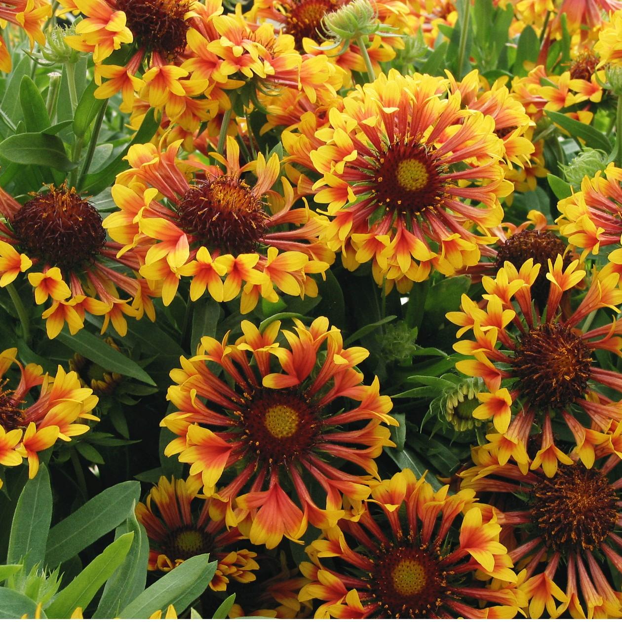 Blanket Flower Fanfare Gaillardia Thetreefarm