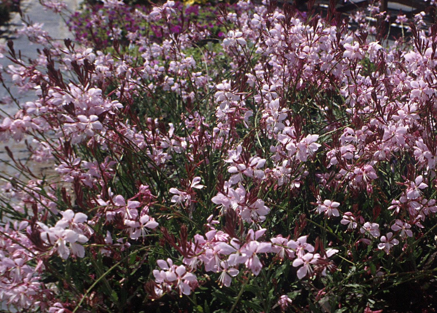 Gaura walbertons pink fountain whirling butterflies photo courtesy of planthaven inc mightylinksfo
