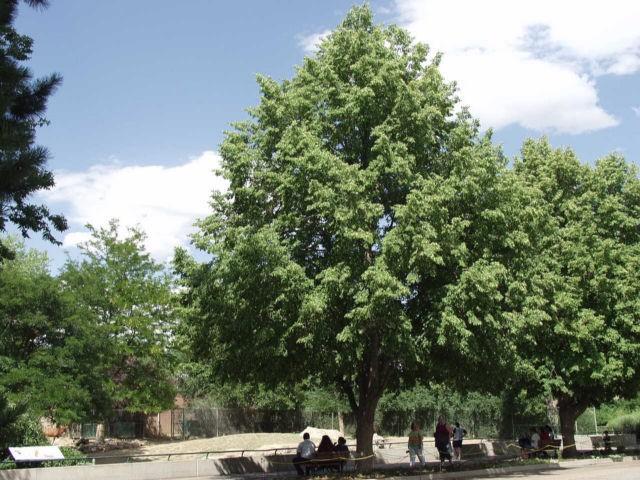 greenspire linden thetreefarmcom