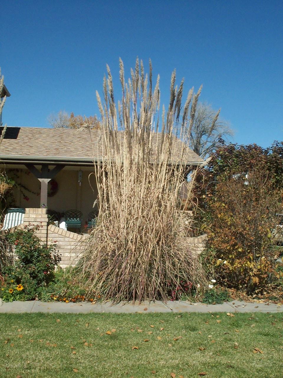pampas grass hardy. Black Bedroom Furniture Sets. Home Design Ideas