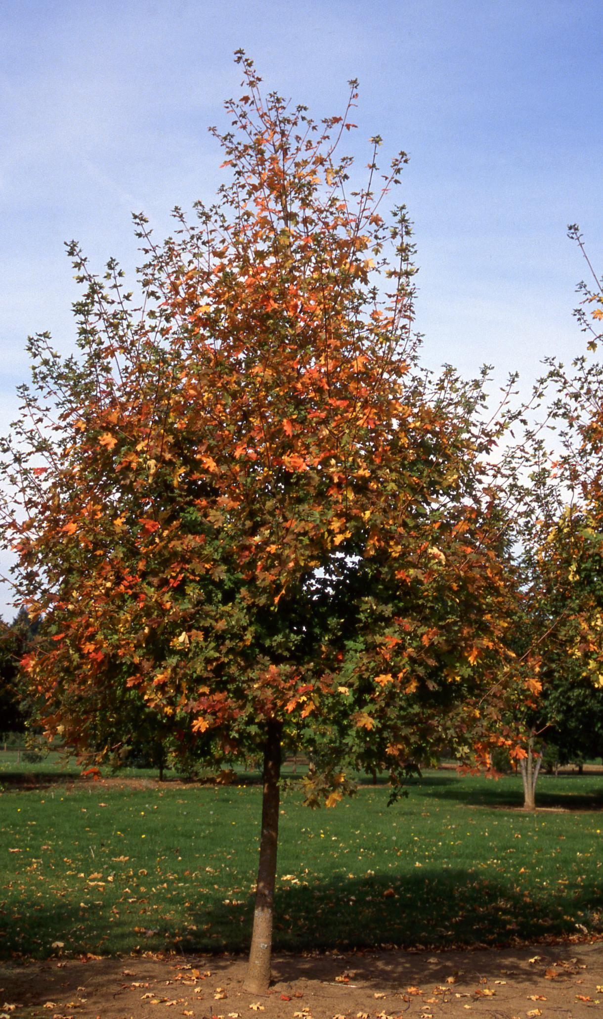Maple, Bigtooth Rocky Mountain Glow® - TheTreeFarm.com