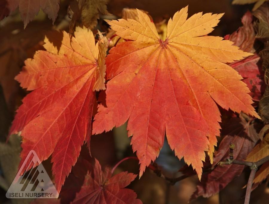 Maple Vitifolium Thetreefarmcom