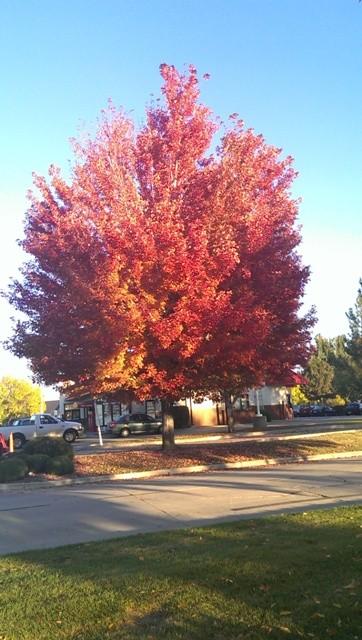 Fast Growing Shade Trees Thetreefarmcom