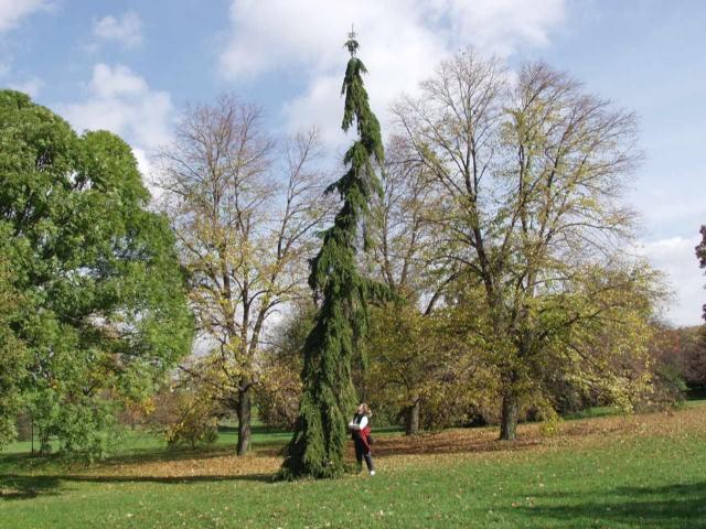 UPRIGHT WEEPING NORWAY SPRUCE Cphoto ArborTanics Inc